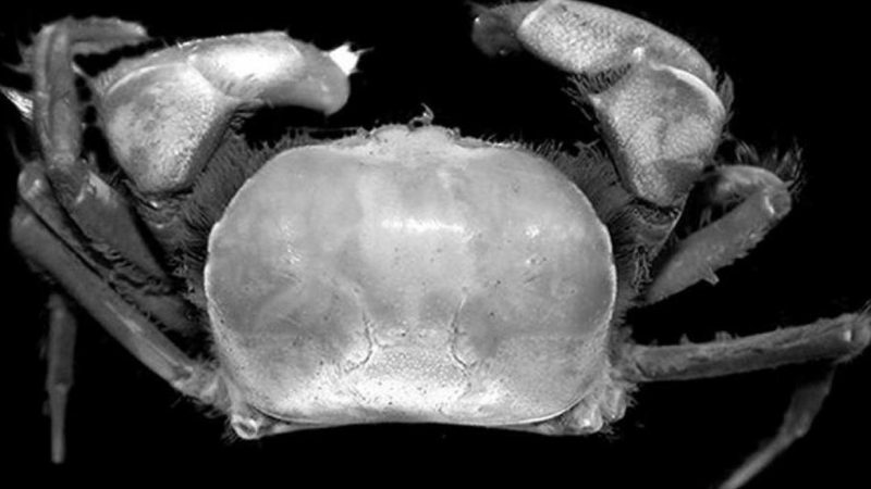 Penemuan 2 Spesies Kepiting Baru di Area Kerja PT Freeport Indonesia Perkaya Keanekaragaman Hayati Papua